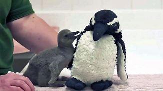 Kaum zu glauben, aber wahr: Baby-Pinguin bekommt kuschelige Ersatz-Mama
