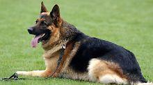 Zwei Polizisten als Leibwächter: Drogenkartell setzt Kopfgeld auf Hund aus