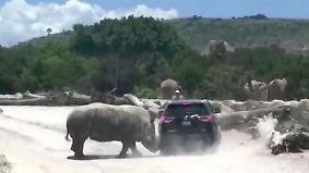 Kaum zu glauben, aber wahr: Nashorn greift SUV an
