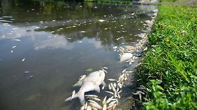 Hohe Wassertemperaturen: Extremhitze führt zu Fischsterben