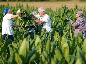 Tabakpflanzen produzieren in ihren Blättern einen Stoff, um Schädlinge abzuhalten.