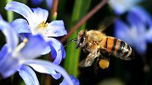 Zum Schutz von Bienen ist in Frankreich die Verwendung bestimmter Insektengifte nun völlig untersagt.