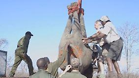 Elefantenherde vermehrt sich zu schnell: Dickhäuter in Simbabwe müssen umziehen