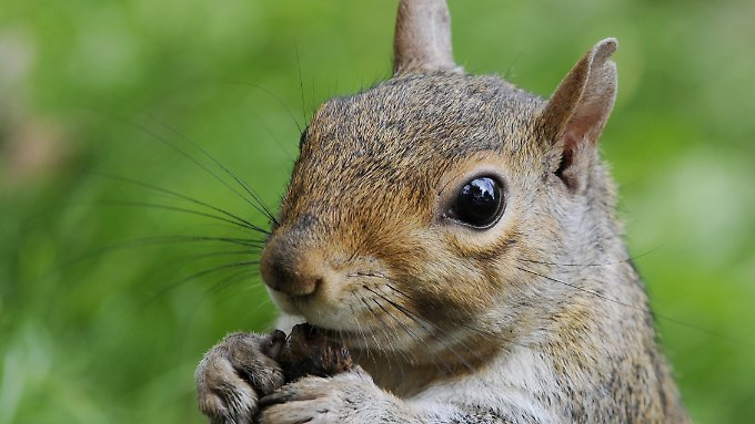 """Ein Eichhörnchen sollte in den USA als """"emotionale Stütze"""" abheben."""