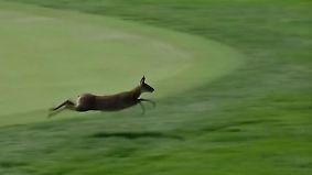 Kaum zu glauben, aber wahr: Reh galoppiert über Golfplatz ins Publikum