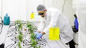 Cannabis-Legalisierung in Kanada: Studenten lernen, wie man Gras anbaut