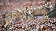 73 Rudel bestätigt: In Deutschland gibt es immer mehr Wölfe
