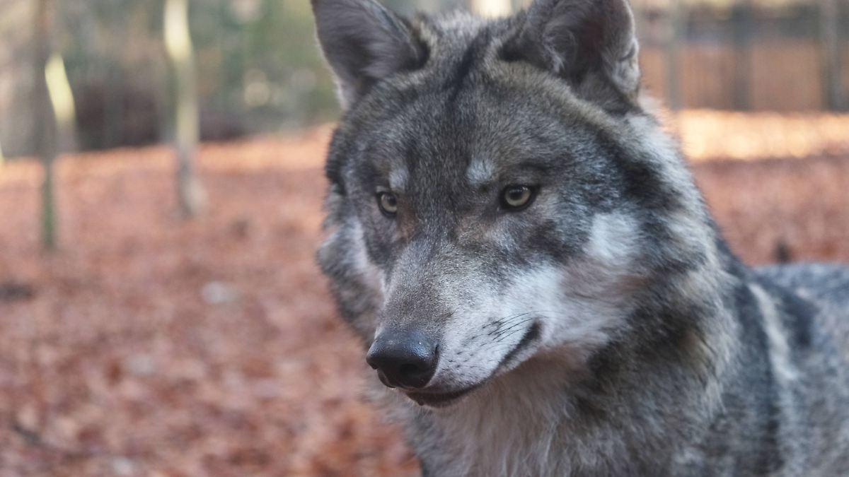 Der Wolf Serie