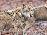 Vorfall in Niedersachsen: Wolf soll Mann in die Hand gebissen haben