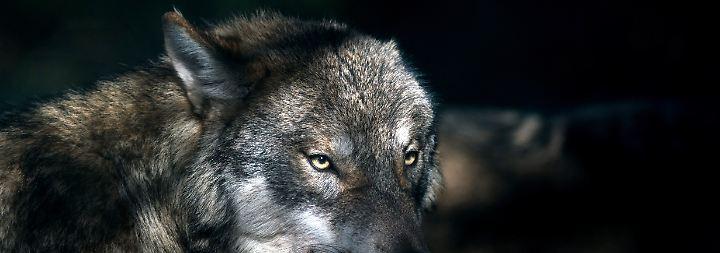 Tiere scheinen Scheu zu verlieren: Wolf beißt angeblich 55-jährigen Niedersachsen