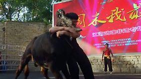 Martial Arts gegen gehörnten Muskelprotz: Chinese ringt Stier mit bloßen Händen nieder