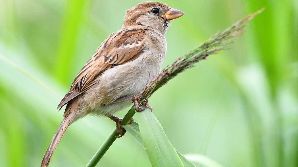 Am Bodensee sterben ganze Vogelarten aus