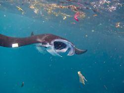 In Magen, Darm und Gewebe: Mikroplastik sammelt sich in Meeresriesen