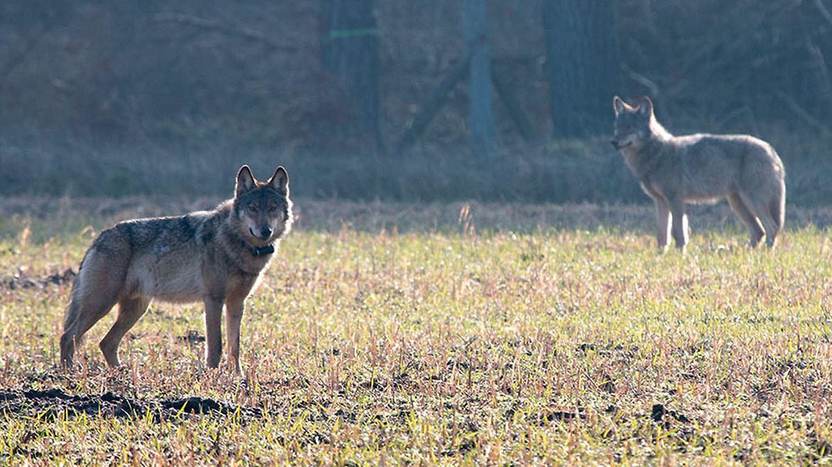 Zahl der Wolfsangriffe steigt immens