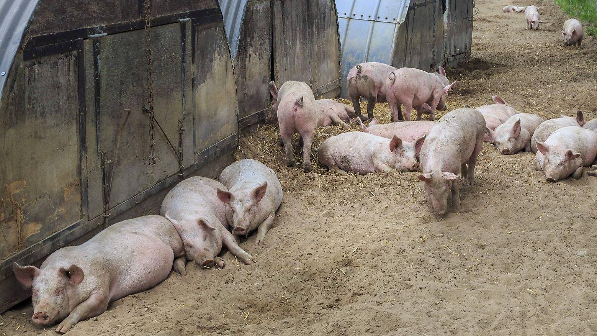 Schweine fressen Besitzer auf