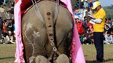 Dünne haben keine Chance: Elefanten im Wettbewerb