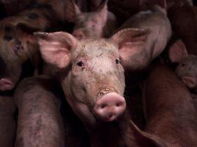 Nun auch betroffen: Schweine in einem Stall in Niedersachsen.