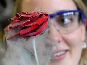 Rose, die mit minus 196 Grad kaltem Stickstoff schockgefroren wurde.
