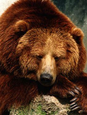 Einige Bärenarten fressen sich im Herbst einen Fettvorat an, damit sie im Winter ruhen können.