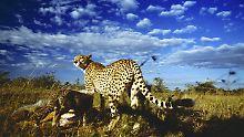Stets auf der Suche nach Futter für sich und ihre Jungen: eine Gepardin in der Serengeti.