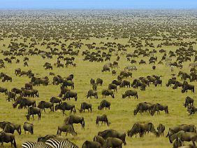 Endlose Weiten und Millionen Huftiere: Dieses Bild dominiert die Serengeti.
