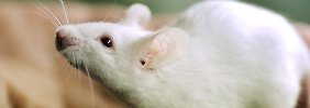 Ein Ergebnis von 2004: Eierstock-Transplantationen verlängern das Mäuseleben.