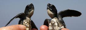 Zwei junge Karett-Schildkröten.