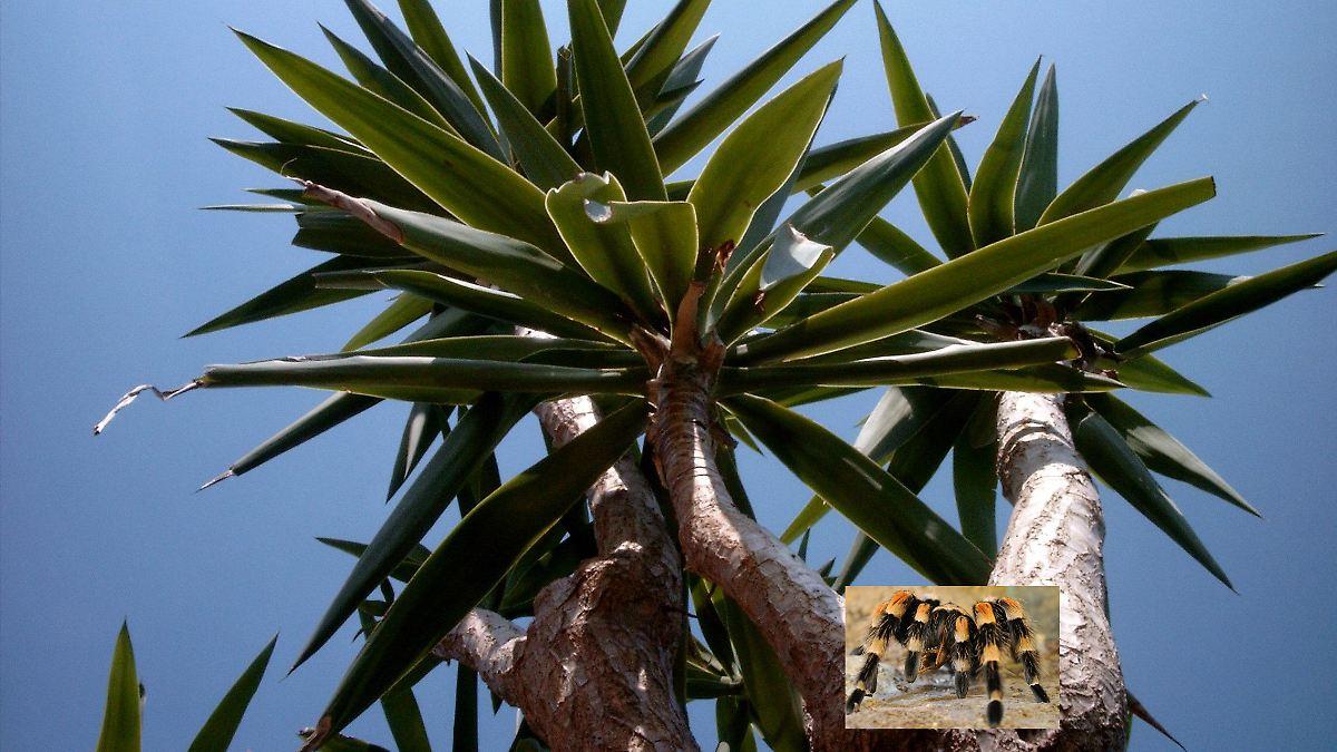 yucca palme pflege yucca palme palmlilie pflege yucca. Black Bedroom Furniture Sets. Home Design Ideas