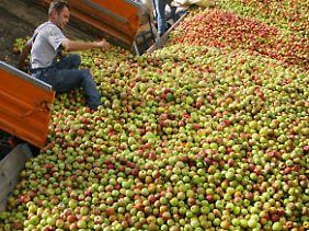 Auch die mit Dellen haben Werte: Viele Äpfel gehen in die Wein- und Mostherstellung.