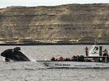 Der Natur begegnen: Von der argentischen Halbinsel Valdés aus lassen sich Wale gut beobachten - am besten von Schiffen aus.