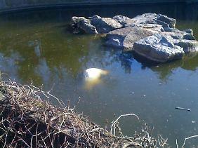 Der Eisbär war am 19. März ins Wasser gestürzt und ertrunken.
