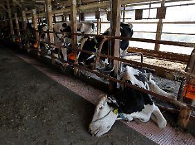 Kühe verhungern in ihren Ställen in Minami Soma, nachdem die Bewohner die Stadt verlassen mussten.