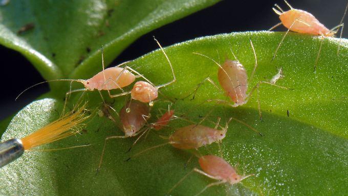 Gift vernichtet Blattläuse, aber sie kommen wieder.
