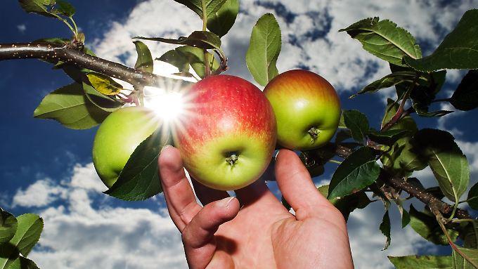 Gute Nachricht des Tages: Äpfel fördern Muskelaufbau