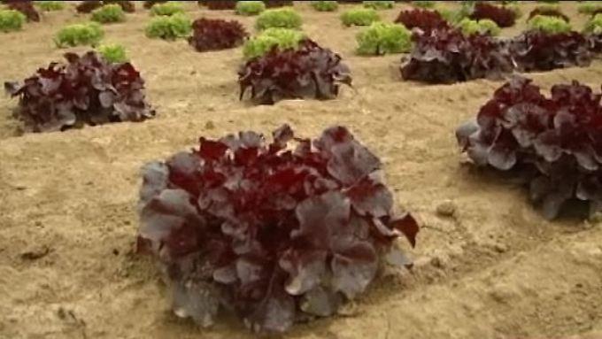 Entwarnung aus Bayern: EHEC-Keim auf Salat wohl ungefährlich