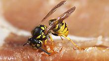 Die Deutsche und die Gemeine Wespe fressen Aas und daher auch gern den Schinken auf unserem Teller.