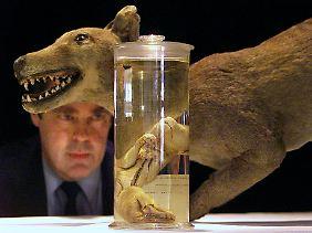 Tasmanischer Tiger im Modell und in Alkohol eingelegt im Australian Museum in Sydney.
