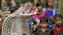 Kobras können bis zu 2,30 Meter lang werden.