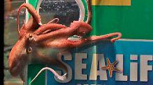 Mit seiner Intuition lag der Tintenfisch Paul fast immer richtig. Er sagte bei der Weltmeisterschaft 2010 den richtigen Sieger Spanien voraus.