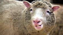 Benannt nach vollbusiger Sängerin: Mit Dolly begann das Klonzeitalter