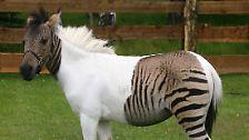 Tierische Lust, die vor Artengrenzen nicht haltmacht: Wie Schiegen, Liger und Wolfshunde entstehen