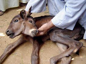 Auch in Ägypten wurde 2006 bereit ein zweiköpfiges Kalb geboren, desse Köpfe sogar vollständig vorhanden waren.
