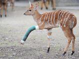 Nicht nur Menschen trifft es - auch diese kleine Antilope im Zoo in Hannover erlitt einen Beinbruch.