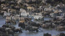 Vor allem die gigantischen Tierwanderungen in der Serengeti ziehen Massen von Touristen an.