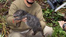 Diese Riesenratte wurde 2007 in Indonsien entdeckt. Sie wiegt 1,4 Kilogramm.