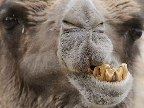 Die Urgroßväter der heutigen Kamele sollen aus Nordamerika stammen.
