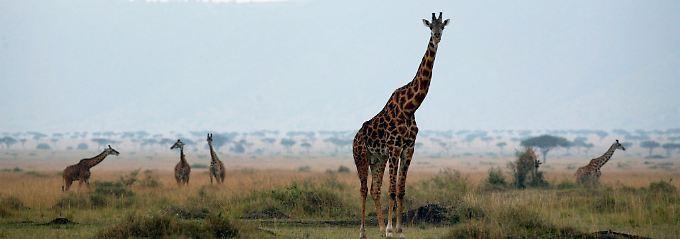 Giraffen im Massai Mara Naturschutzgebiet im Süden Kenias.