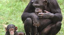 Ein Impfstoff aus Affen-Viren hilft Menschen gegen Hepatitis C.