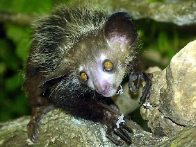 Die nachtaktiven Primaten leben auf Madagaskar und gehören zu den Allesfressern.