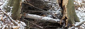 Baum einfach entzweigerissen: Die Erde rumort auf Hiddensee